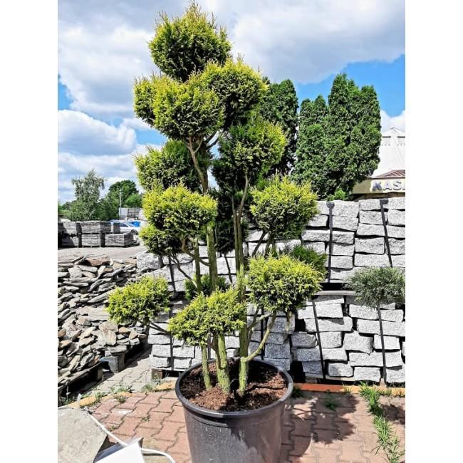 Krzew Bonsai formowany Cyprysik