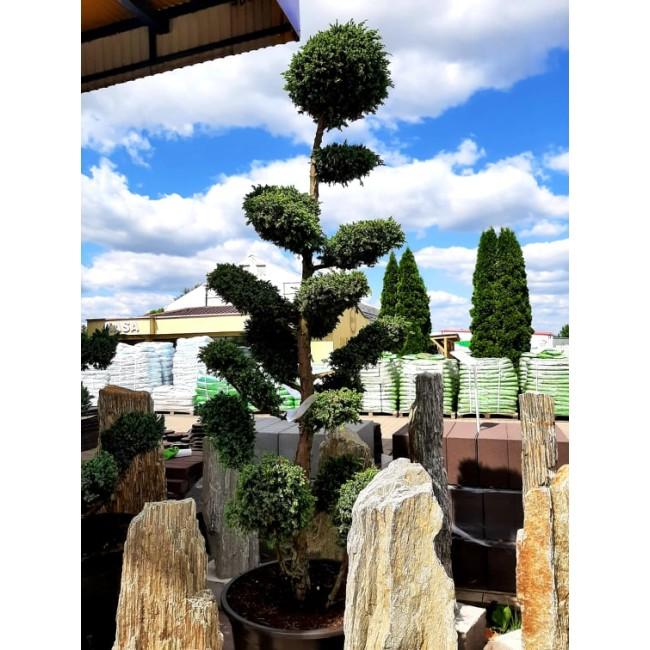 Krzew Bonsai formowany Jałowiec Blue Alps