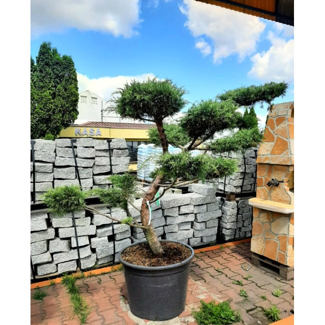 Krzew Bonsai formowany Jałowiec Hetzii