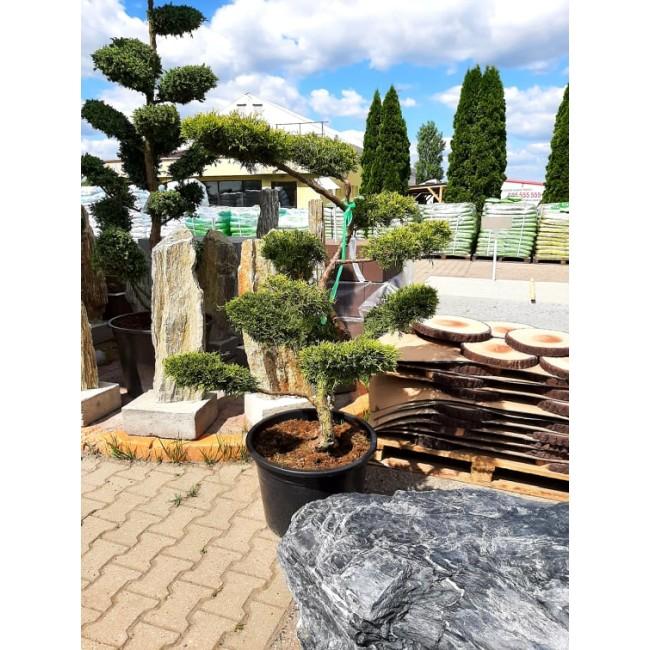 Krzew Bonsai formowany Jałowiec Pfitzeriana