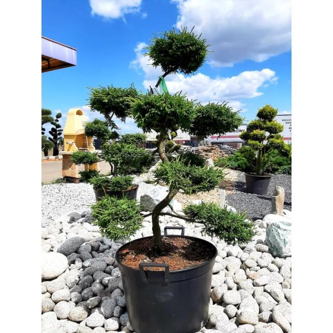 Krzew Bonsai formowany Jałowiec Repanda