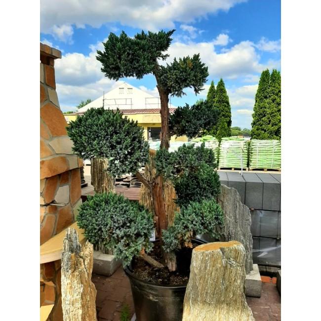 Krzew Bonsai formowany Jałowiec Meyerii