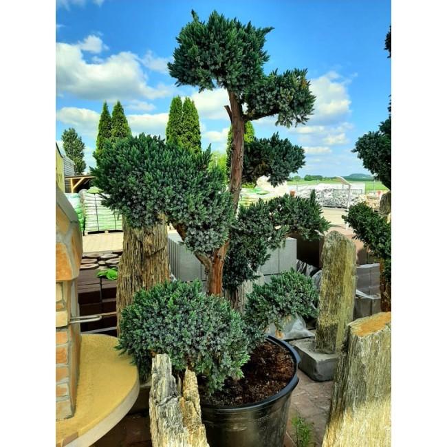Krzew formowany Bonsai
