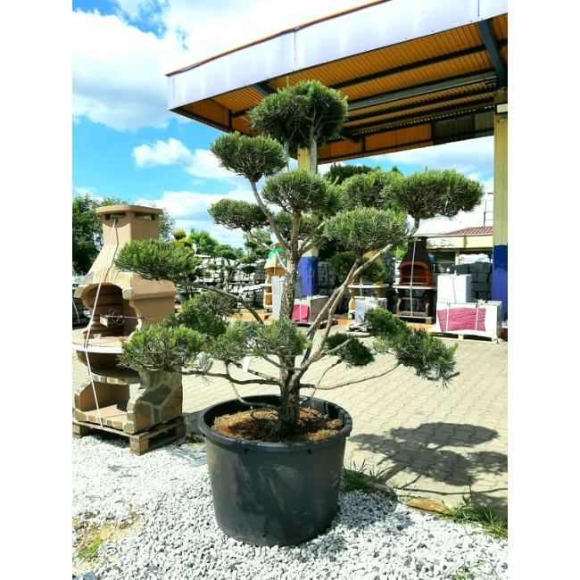 Krzew Bonsai formowany Sosna